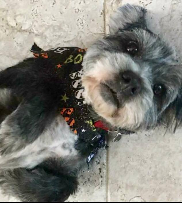 Presley, an adopted Lhasa Apso in Wantagh, NY