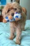 Maltese Dog: Buddy