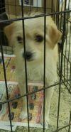 Chihuahua Dog: Marquette