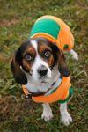 Cavalier King Charles Spaniel Dog: Charly