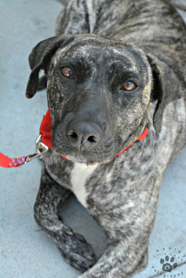 Chloe, an adoptable Catahoula Leopard Dog Mix in Anza, CA