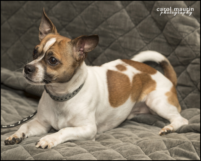Dog For Adoption Mugsy A Chihuahua Terrier Mix In Winston Salem