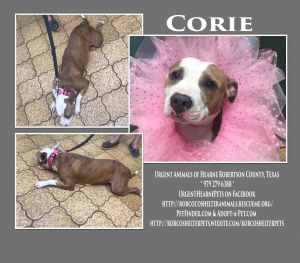 Corie American Staffordshire Terrier Dog