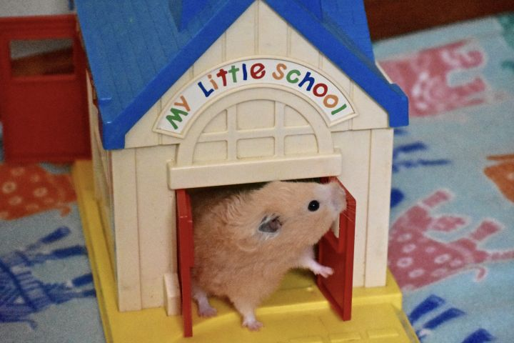 Hamtaro, an adopted Hamster in Burlingham, NY