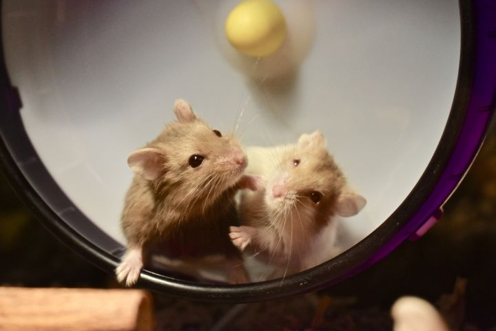 The Charmed Girls, an adoptable Dwarf Hamster in Burlingham, NY