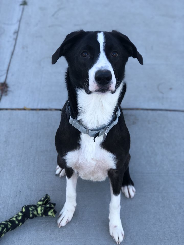 Kane, an adoptable Border Collie Mix in Naperville, IL