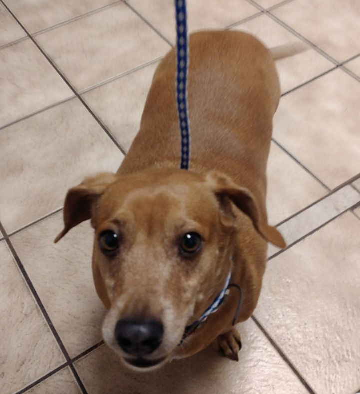 Slinky, an adopted Dachshund in Winchendon, MA
