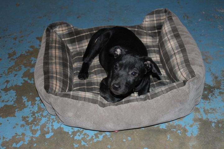 DOLLY, an adopted Black Labrador Retriever Mix in Savannah, GA