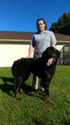 Newfoundland Dog Dog: 600 Rocky