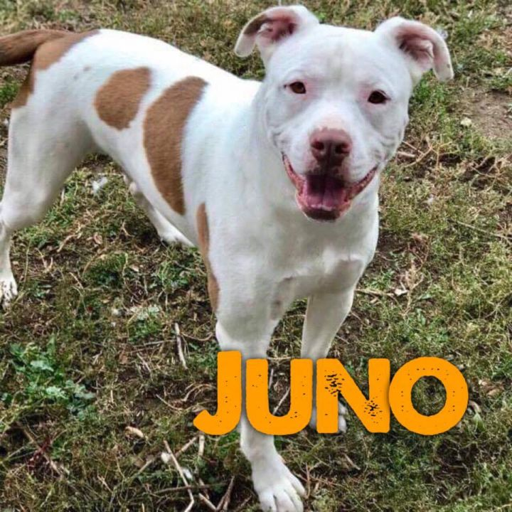 Juno, an adopted Pit Bull Terrier Mix in Windsor, CO
