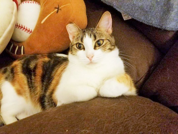 Pumpkin, an adoptable Calico & Torbie Mix in Mission Viejo, CA