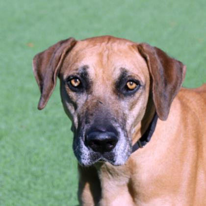 Doc, an adoptable Black Mouth Cur Mix in Loxahatchee, FL