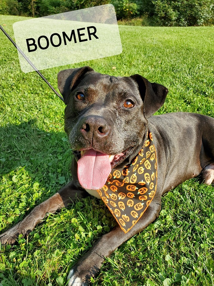 Boomer, an adopted Pit Bull Terrier in Mansfield, OH