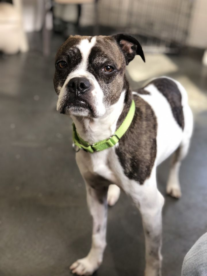 LARRY, an adopted Boxer in West Milford, NJ
