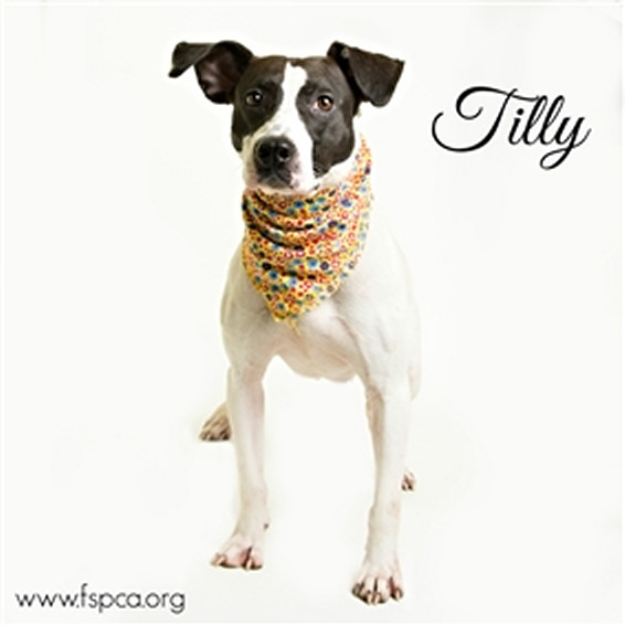 Tilly, an adopted Pit Bull Terrier Mix in Eagle, ID