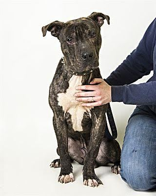 Leon / Jackson, an adopted Pit Bull Terrier Mix in Eagle, ID