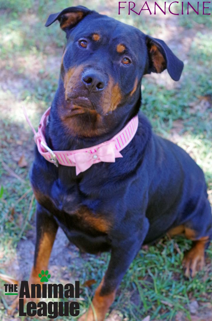 Francine, an adopted Rottweiler Mix in Clermont, FL
