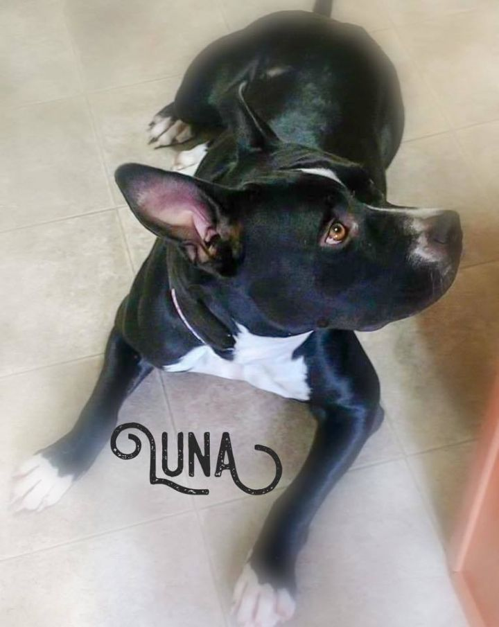 Luna, an adoptable Staffordshire Bull Terrier Mix in Cypress, TX