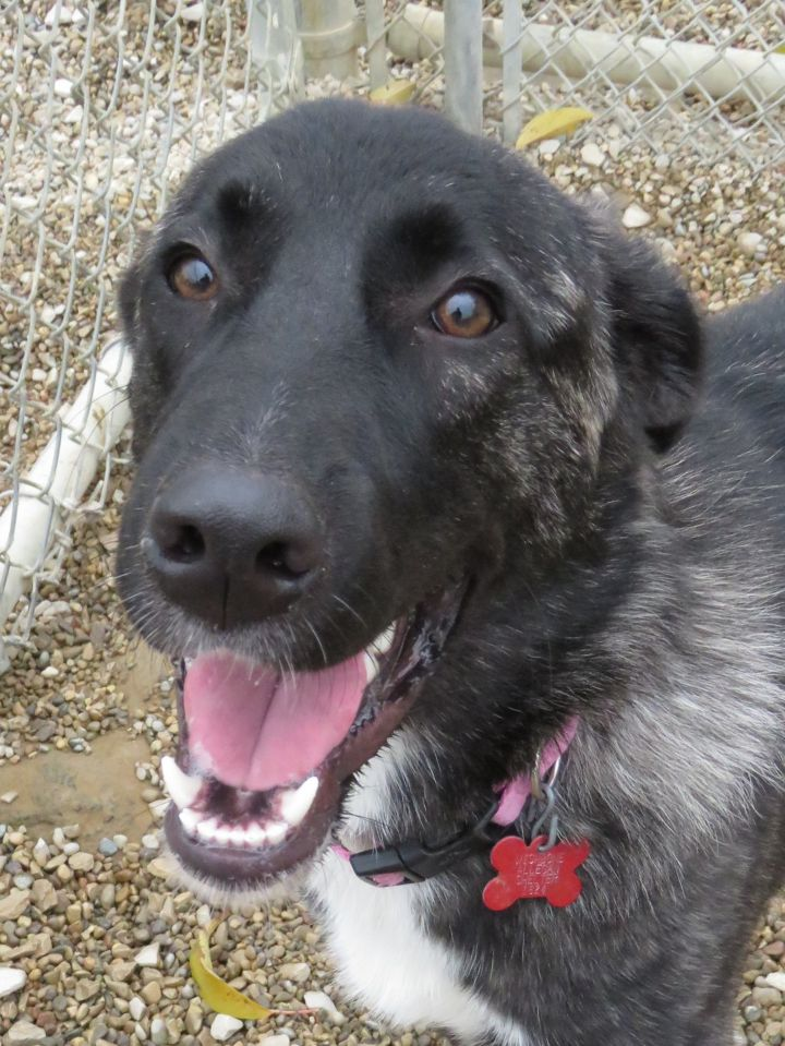 Boogie, an adopted Shepherd Mix in Allegan, MI