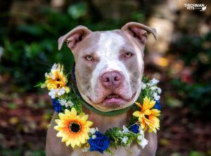 Marshmallow American Staffordshire Terrier Dog