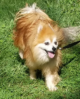 Foxy, an adopted Pomeranian in New York, NY