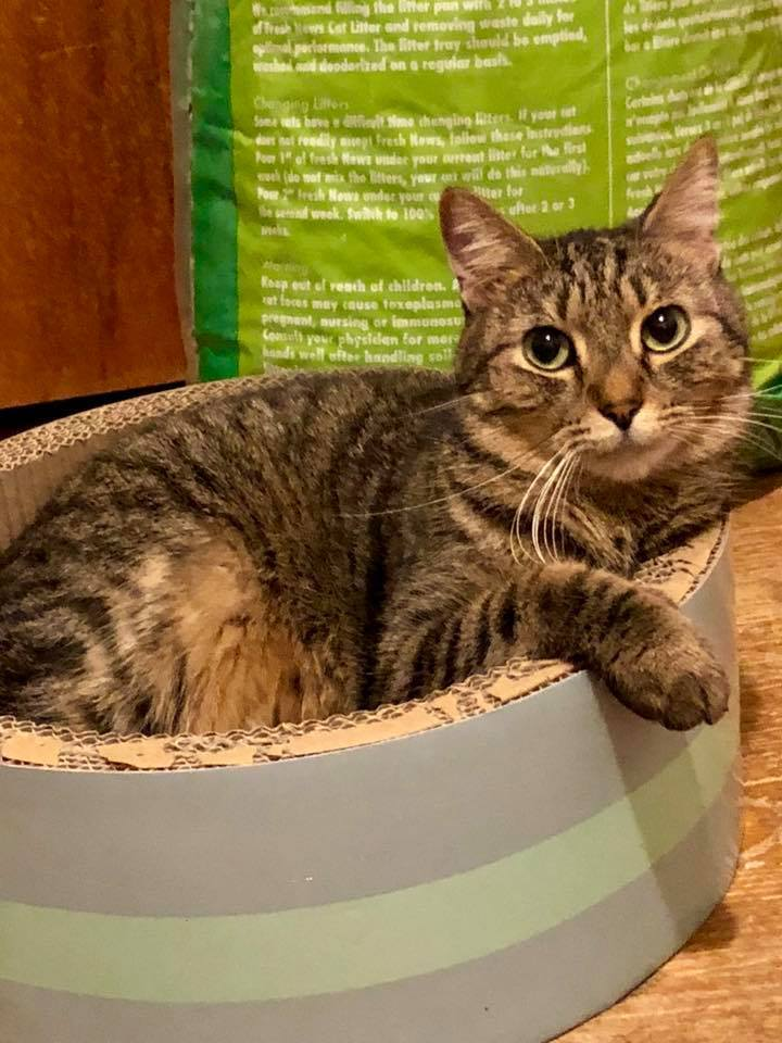 Cat For Adoption Davy Jones A Tabby In St Clair Shores Mi