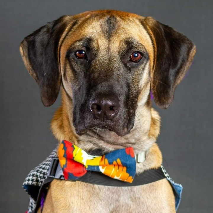 Titan, an adoptable Labrador Retriever & Hound Mix in Bloomington, IL