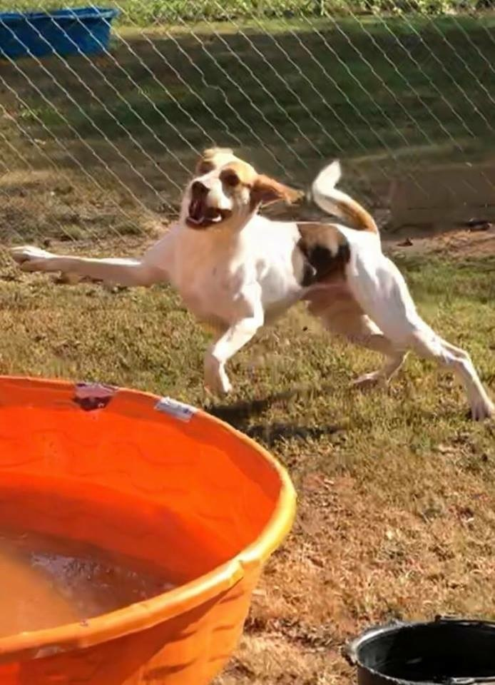 Bullet, an adopted Treeing Walker Coonhound in Macon, GA