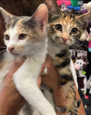 Prudence and Penny Torbie Cat