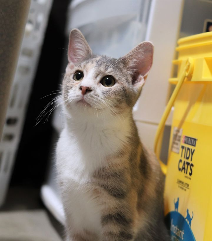 Audi, an adoptable Domestic Short Hair in Boiling Springs, PA