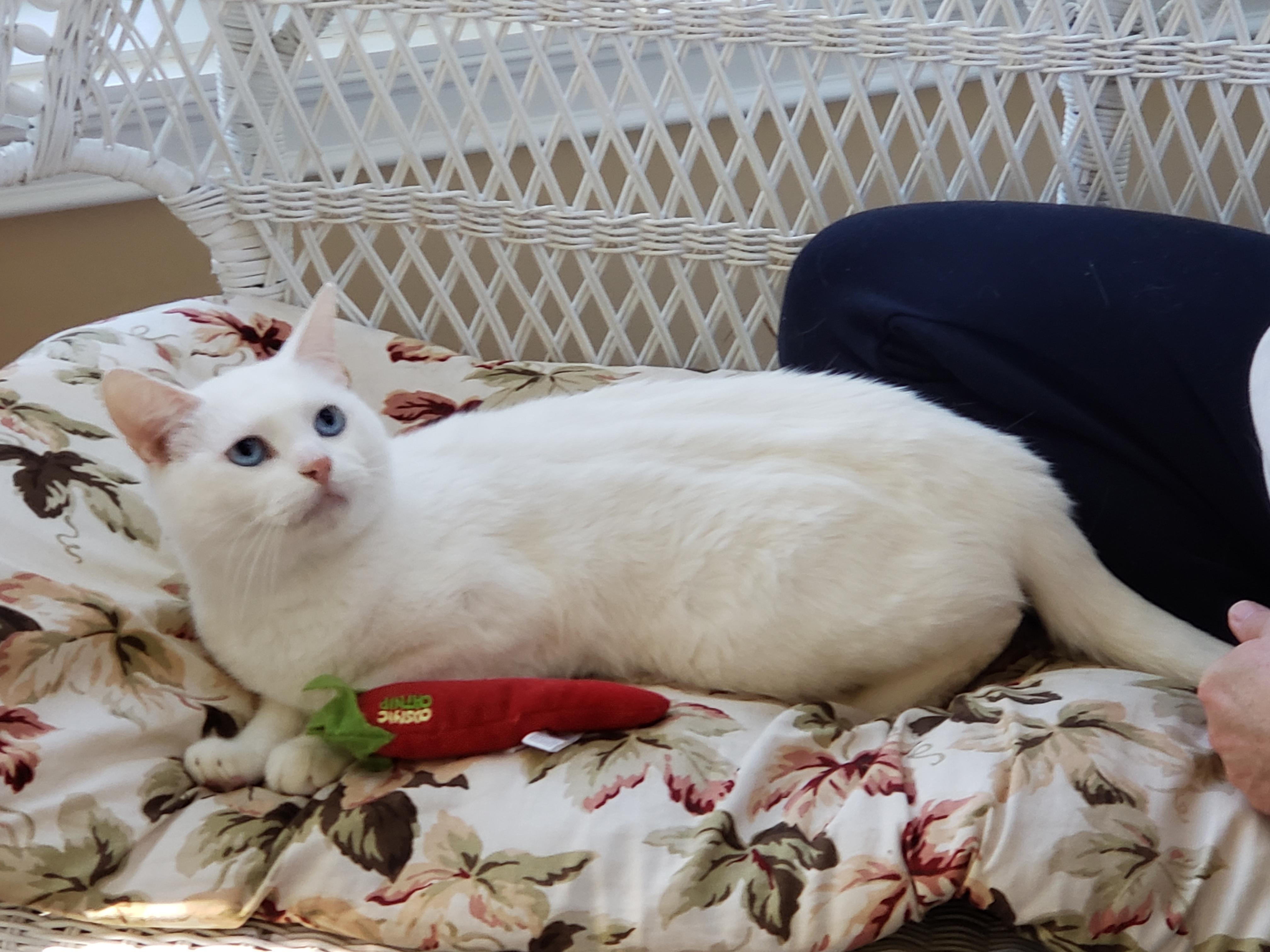 Cat For Adoption Blizzard Beautiful British Short Hair Siamese