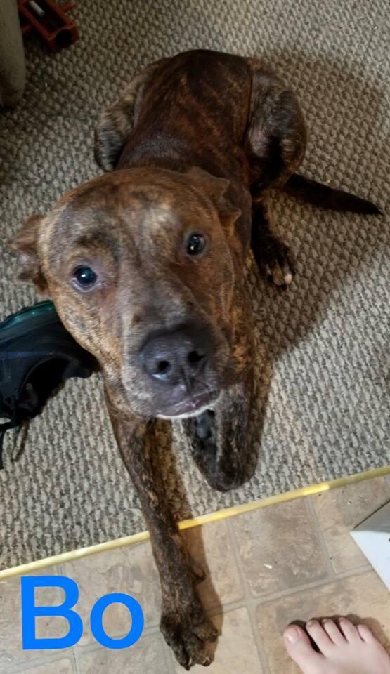 Dog for adoption - Bo, a Labrador Retriever & American