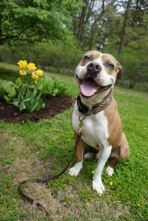 Ralfi is a  happy handsome get along clown American Staffordshire Terrier Dog