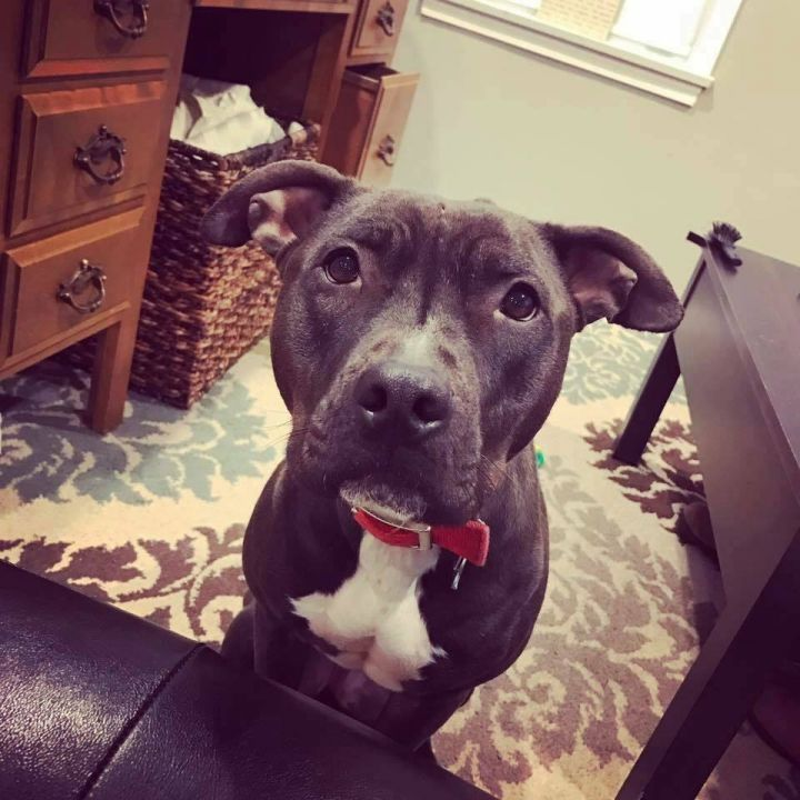 Kaisa, an adoptable American Staffordshire Terrier & Pit Bull Terrier Mix in Saint Paul, MN