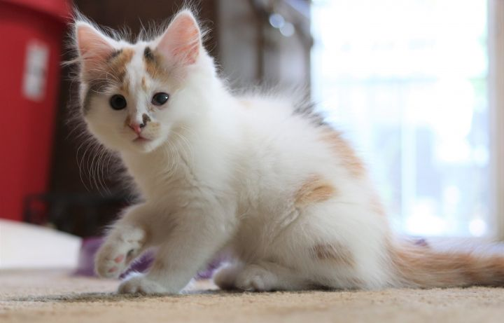 Stilley, an adopted Domestic Long Hair in Boiling Springs, PA