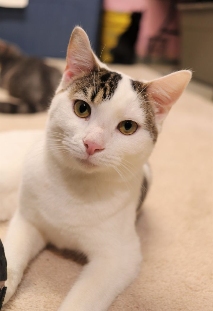 Jack, an adoptable Domestic Short Hair in Boiling Springs, PA