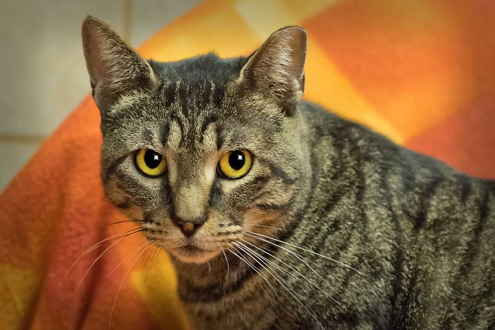 Alf, an adopted Domestic Short Hair in Harrisburg, PA