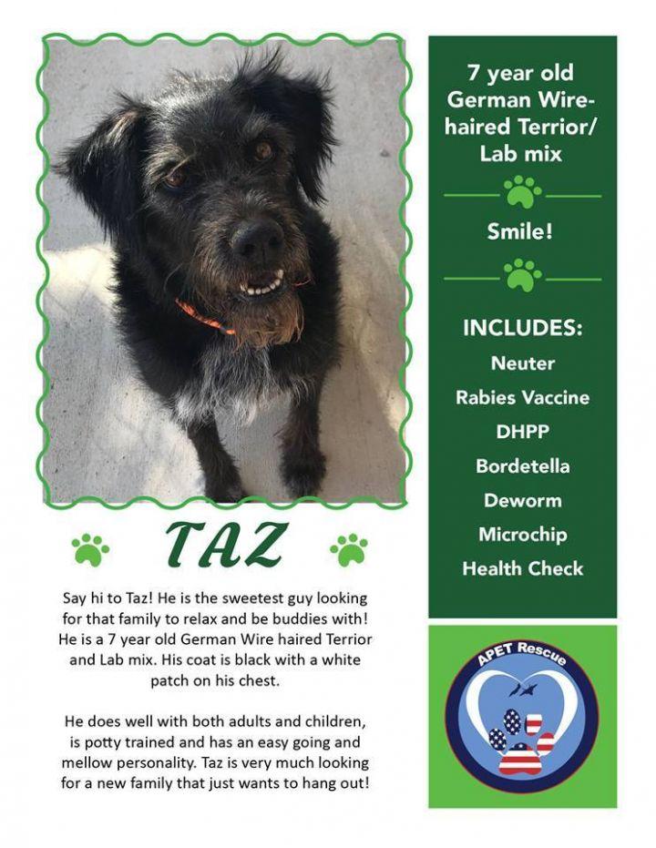 Dog For Adoption Taz A German Wirehaired Pointer Labrador