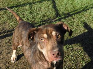 Dog For Adoption Rudy A Pit Bull Terrier Mix In Oakdale La