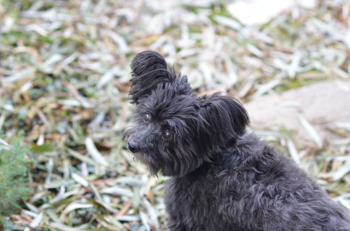 Dollie, an adopted Yorkshire Terrier & Poodle Mix in Fort Collins, CO