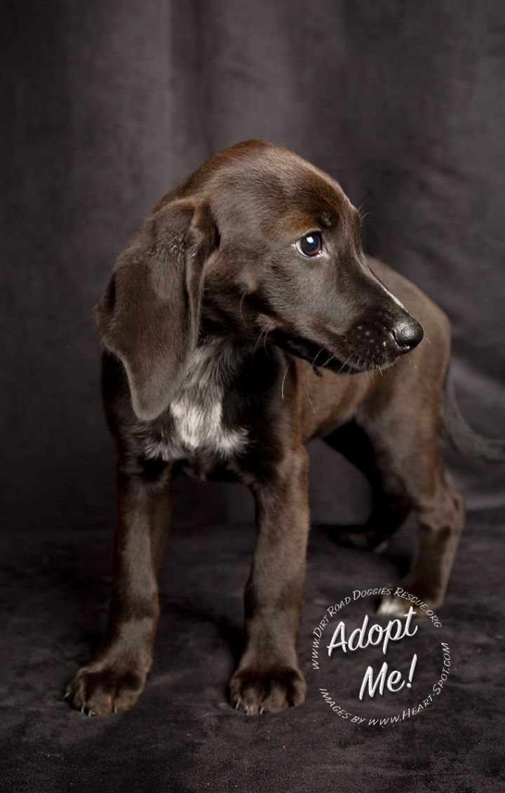 Patsy, an adopted English Coonhound & Black Labrador Retriever Mix in Gillsville, GA