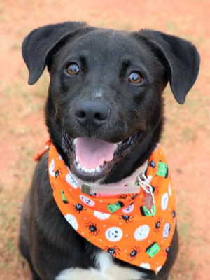 Ali, an adopted Labrador Retriever & Siberian Husky Mix in Athens, GA