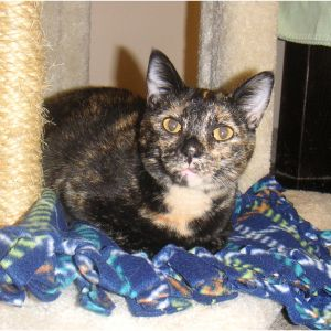 Ginger is a small female torti with a tan chest She was found at a 7-11 near so