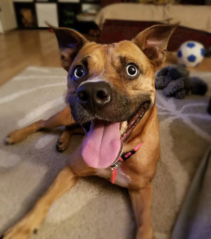 Jules, an adopted American Staffordshire Terrier Mix in Northville, MI