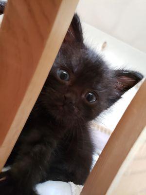 Xena Domestic Medium Hair Cat