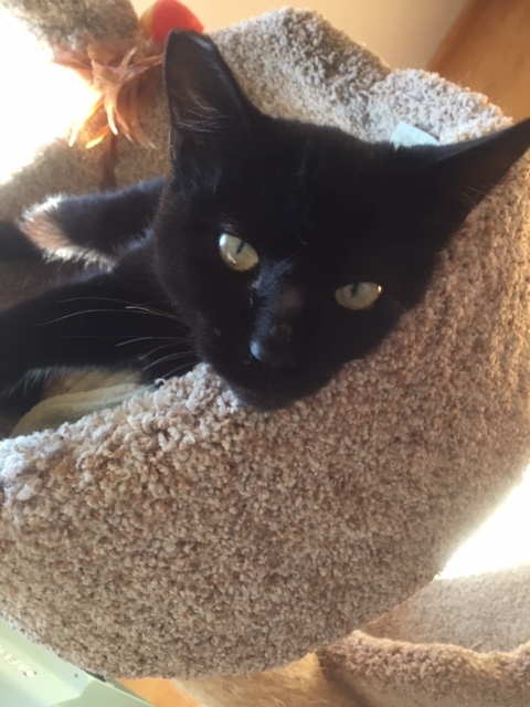 Maggie, an adopted Domestic Short Hair Mix in Stanford, CA