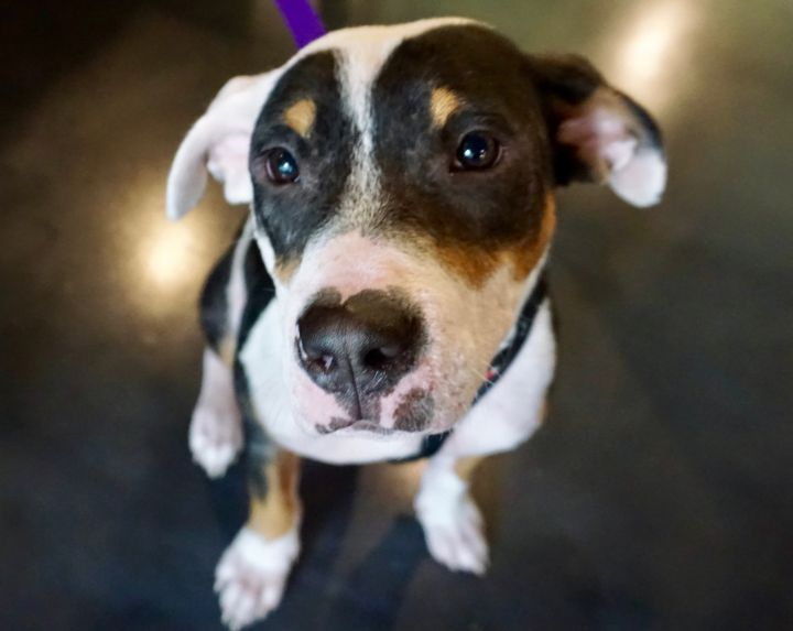 Holden, an adopted American Staffordshire Terrier & Pit Bull Terrier Mix in Saint Paul, MN