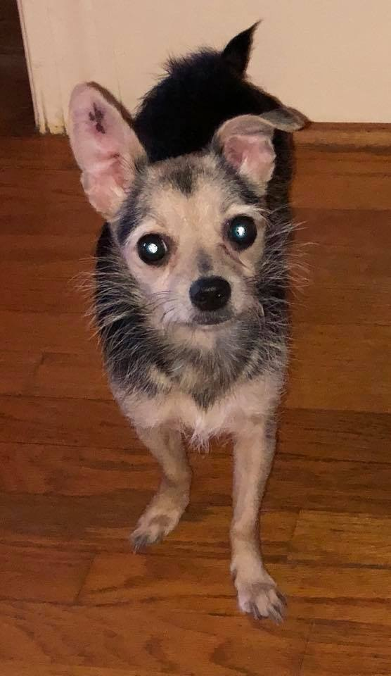 Dog for adoption - Margot, a Yorkshire Terrier & Chihuahua