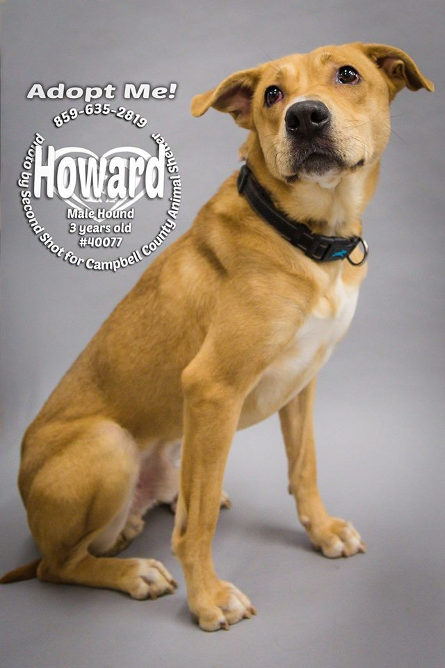 Howard, an adopted Hound & Labrador Retriever Mix in Melbourne, KY