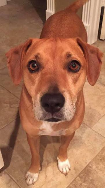 Lucy, an adopted Rhodesian Ridgeback Mix in Cypress, TX